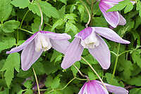 Clematis alpina 'Jacqueline du Pre' in pink flowers