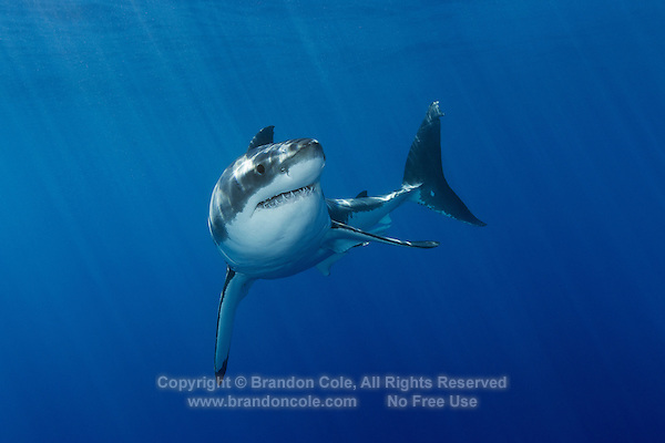 TE1093-D. Great White Shark (Carcharodon carcharias), unquestionably dangerous, but not a bloodthirsty mindless killer. Worldwide temperate and subtropic waters. Guadalupe Island, Baja, Mexico, Pacific Ocean.<br /> Photo Copyright &copy; Brandon Cole. All rights reserved worldwide.  www.brandoncole.com