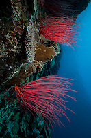Two illuminated wall corals on a sheer wall that drops off into open water, Palau Micronesia. (Photo by Matt Considine - Images of Asia Collection)