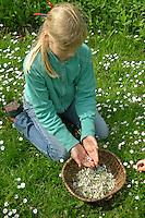 Mädchen plückt und sammelt Gänseblümchen im Garten, Bellis perennis, Daisy