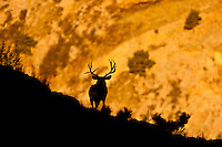 Mule deer at canyons edge at sunrise in Colorado