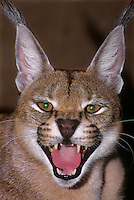 612759009 a wildlife rescue caracal mix felis serval felis in its home at a wildlife rescue facility in southern california showing a snarling attitude