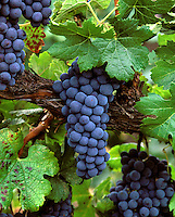 Clusters of MERLOT WINE GRAPES hang from the vine ready for harvest