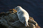 harbor seal pup on rocks