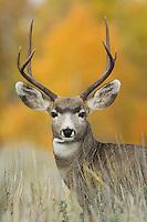 Mule Deer, Black-tailed Deer, Odocoileus hemionus, buck with aspen trees in background in fallcolors, Grand Teton NP,Wyoming, USA
