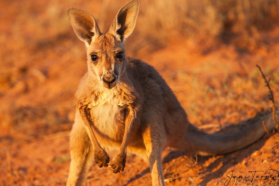 A young, curious red kangaroo joey (Macropus rufus ...