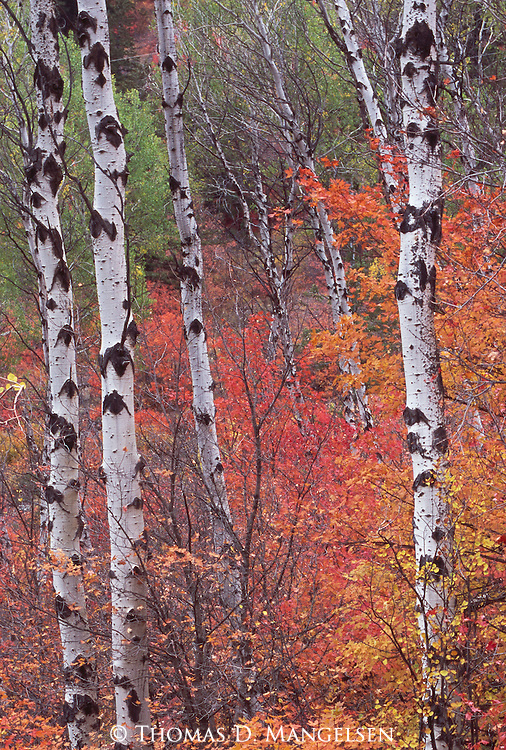 Aspens in their fall shades glow brilliantly in Snake River Canyon Wyoming.