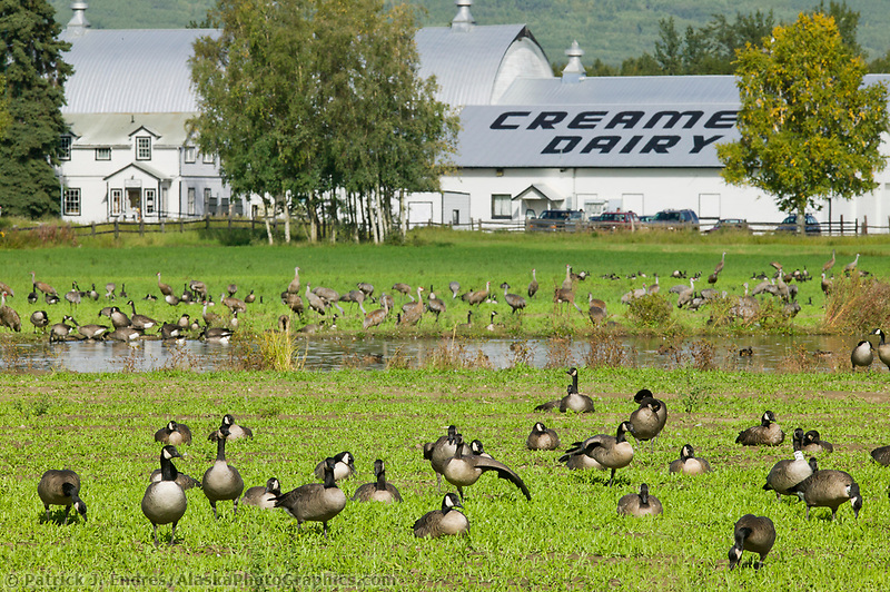 Creamer's Field migratory waterfowl refuge, Fairbanks, Alaska. Canada geese.