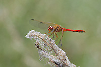 362750019 a wild male spot-winged meadowhawk sympetrum signiferum perches on a dead stick at empire creek las cienegas natural area cochise county arizona