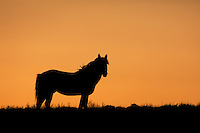 Wyoming Mustang Stallion Sunset Silhouette.