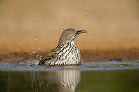 582000064 a wild long-billed thrasher toxostoma longirostre bathes in a small pond on santa clara ranch starr county texas united states