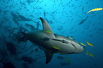 Negaprion brevirostris, Lemon SHark, Fiji, Tahiti,