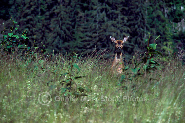 Black-tailed (Blacktail) Deer Doe (Odocoileus columbianus) standing in a Forest, BC, British Columbia, Canada
