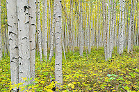 Honorable Mention - Landscape: Birch Woods