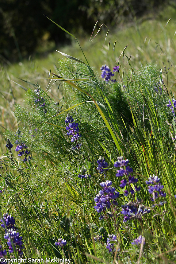 Lupine growing amongst several types of grass in Asti in Sonoma County in Northern California.