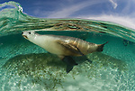 Australian Sea Lions (Neophoca cinerea) underwater