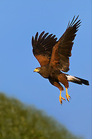 541950090a a wild adult harris hawk parabuteo unicinctus in flight on a private ranch in the rio grande valley of south texas