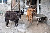 Bergbauernhof in Gergeti mit tibetanischen Yaks.  / farm in the mountain village of Gergeti with Tibetan Yaks.