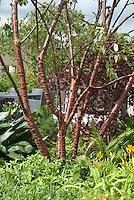 Prunus serrula tree showing bark, in garden