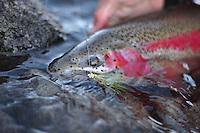 Rainbow trout on the Talkeetna River, Alaska.