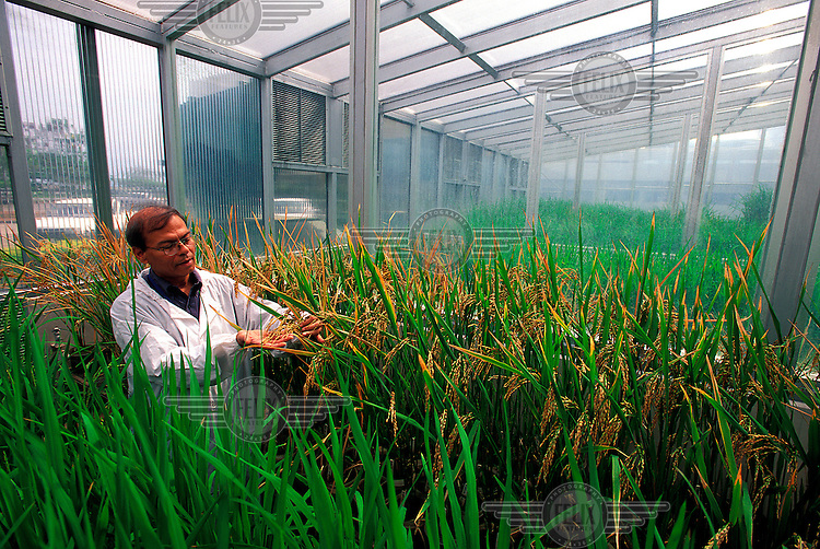 "©Chris Stowers/Panos Pictures..PHILIPPINES Los Banos, Luzon 2003..Dr. Swapan K. Datta of IRRI (International Rice Research Institute) with a sample of ""Golden Rice"". Datta and IRRI hope that Golden Rice will spearhead the  next generation of hybrids which they believe will have a similar impact on food dynamics as IR8 the strain of rice also developed at the Institute which launched the  ""Green Revolution"" of the 1960s. Environmental critics are concerned about the impact of the plant's genetic engineering."