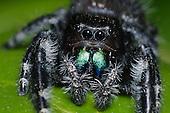 Bold Jumping Spider (Phidippus audax), Lake Texoma, Oklahoma, USA