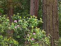 Redwood & Rhododendron IV