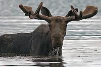"""#M7"""" Milton"""" Bull Moose In Velvet"""