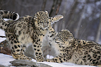 Snow Leopards (Panthera uncia) or (Uncia uncia) playing, Endangered Species