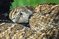 467010142 closeup of the head of a wild western diamondback rattlesnake crotalus atrox showing its tongue out sensing the environment in the rio grande valley of south texas