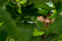 A Moroccan immigrant worker looks through the tomato plant leaves in the greenhouse of El Ejido, Spain, 22 May 2007. El Ejido, a dry region on the coast of Andalusia, has changed during the last decades into the centre of vegetable production not only for the Spanish market. A half of Europe is supplied by tomatoes, peppers and melons from El Ejido. This economic miracle is from a major part based on a cheap labor force of illegal immigrants from Maghreb and Subsaharian Africa. Tens of thousands of workers keep the plastic sea of greenhouses running for the minimum wage of 30 Euros a day.