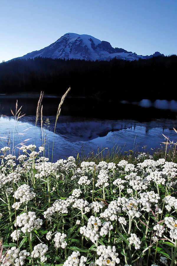 Pearly Everlasting along shore of Reflection Lakes, Mount Rainier National Park, Lewis County, Cascade Mountains, Washington, USA