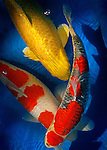 With their brilliant metallic sheen, koi are often mistaken for overgrown goldfish. But koi are actually carp, and their story -- like all good fish tales -- is full of surprises...For thousands of years, these &quot;living jewels&quot; (as they are referred to in Japan) were celebrated by the Chinese, represented in artwork and given as gifts by kings. The fish were later used as a food source by Japanese farmers, but by the early 1800s, the farmers found themselves captivated by their carp. They began to cultivate the fish for more aesthetic reasons, creating Nishikigoi -- colorful carp -- the fish we generally now call koi...Koi are still enchanting to new enthusiasts. The Japanese remain the leaders in Nishikigoi, and for that reason, Dr. Leuyen Nguyen, a Naples dentist, travels to Japan to select and buy his koi. His most recent trip was just before Thanksgiving, when he went to Ojiya, located on the coast of mainland Japan and known as &quot;the cradle of koi.&quot; While there, he planned to collect three fish he purchased two years ago. After undergoing a time in quarantine, the koi will go in Nguyen's 7,000 gallon pond -- his former swimming pool, which he converted -- with his 17 other koi...The care and attention Nguyen and his wife Paula have paid to their koi has had its rewards; their koi possess desirable and valuable characteristics, and have won many awards at koi shows. But their fish are essentially just well-loved pets, too, and capable of inspiring much affection: Nguyen has trained his koi to eat out of his hand, and the names he has given them reflect his feelings. Such as how he named his favorite fish &quot;Tiger Woods.&quot; The plans for a new house the Nguyens are building are revealing, also. There, the Nguyens will have a 30,000 gallon pond -- something big enough that Nguyen can swim with his koi, he explains with a smile...Keeping koi may be a serious hobby, but it's enjoyable. In a busy world, full of modern conveniences and annoyances, it's easy to embrace somet