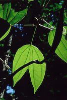 Backlit leaf of vine: Bauhinia sp. of Leguminosae family in Tropical Rain Forest, Amazon region, Para, Brazil