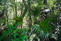 Sabal palms, Sabal palmetto, by Big Cypress Bend boardwalk at Fakahatchee Strand, Florida Everglades, USA