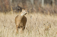 Whitetail doe feeding on milkweed in Colorado