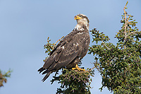 Bald eagle in spruce tree, Katmai National Park, Alaska
