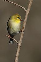 American Goldfinch in Winter's plumage.