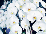 White orchids flowers, Phalaenopsis, floral background.