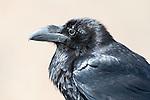 Raven, Corvus corax, Mirador Las Penitas, Betancuria, Fuerteventura, Canary Islands, Spain