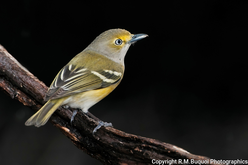 White-eyed Vireo