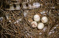 Sperber, Eier im Nest, Gelege, Horst, Ei, Accipiter nisus, northern sparrowhawk, sparrow hawk