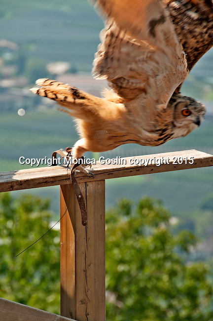 An eagle owl at Gufyland Bird Sanctuary in Dorf Tirolo near Merano, Italy; the Gufyland Bird Sanctuary provides sanctuary to injured birds, rehabilitation, and releasing birds back into the wild while also providing educational talks to the public; the bird sanctuary has been in operation since 1989