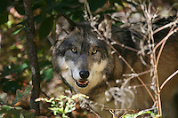 Wolf Face Behind Grasses #Z20