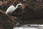 Great egret, Casmerodius albus, fishing in tidepools near Mendocino, California