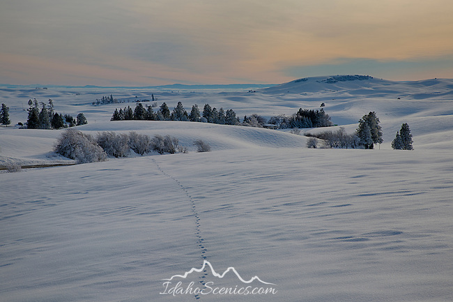 Idaho, North Central, Moscow. Animal tracks cross the snow covered landscape of the palouse in late afternoon in January.