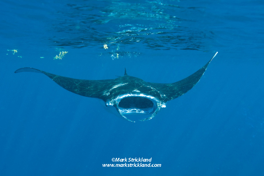 A Giant Manta, Manta birostris, feeds on plankton while cruising just below the surface. The long flaps on either side of its mouth, known as cepahlic lobes, help to funnel water into its mouth so the plankton can be strained out. Narcondam Island, Andaman Islands, India, Andaman Sea