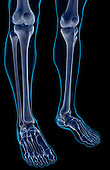 An anterolateral view (right side) of the bones of the legs. The surface anatomy of the body is semi-transparent and tinted green. Royalty Free