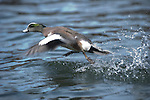 A drake widgeon takes flight.