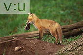 Red Fox kit playing with mole brought to kits at den by mother. ,Vulpes vulpes,